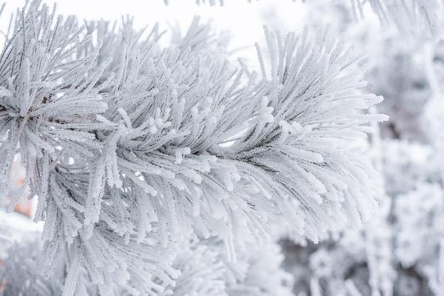 푹신한 눈으로 덮인 침엽수 솔잎. 매크로