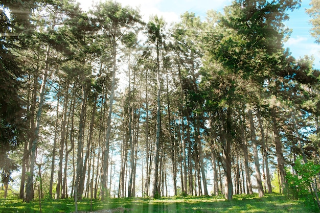 Coniferous pine trees forestlandscape in sunny day with sunlights european nature travel concept
