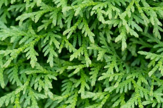 針葉樹は緑、thujaを閉じます