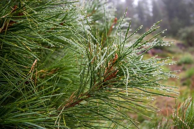 Хвойная еловая ветка с каплями дождя