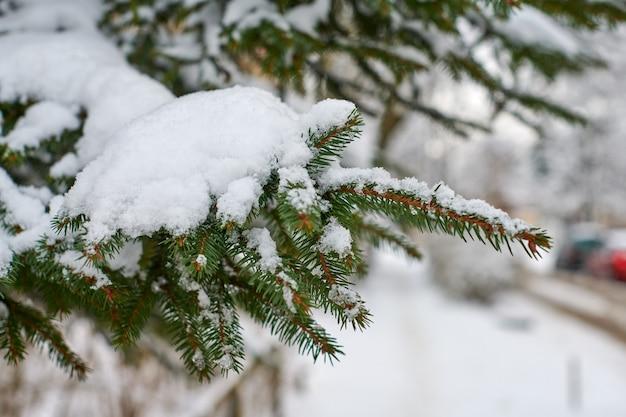 Ветвь хвойного дерева засыпана снегом зимой. елочные замороженные ветки на новый год.