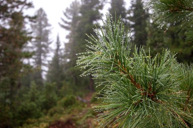 Ветка хвойного дерева с каплями дождя