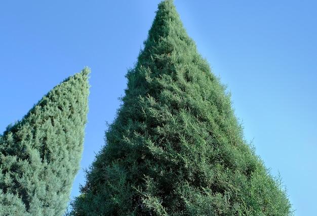 ヒノキ科の針葉樹
