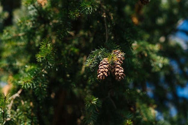 Coniferous tree with cones close-up