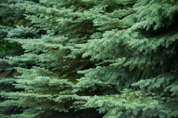 Coniferous trees background