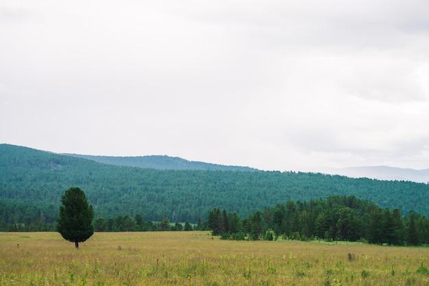 Хвойные деревья растут на лугу против туманных лесных гор под пасмурным небом