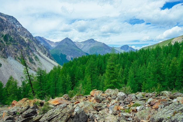 Coniferous trees in highlands. larch trees on stony hill. wonderful giant rocky mountains. mountain range. huge rocks. mountain flora. conifer forest. amazing vivid green landscape majestic nature.