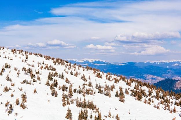 Хвойные деревья над заснеженной горой