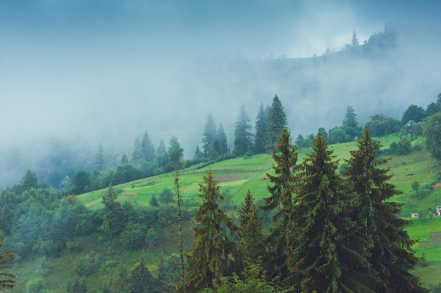 Coniferous trees in a rainy foggy forest