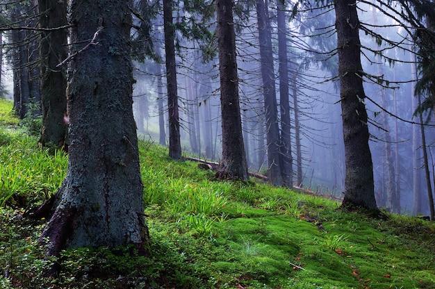 Хвойный лес в горах после дождя