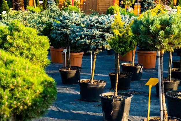 야외 욕조의 침엽수와 가문비 나무, 정원 센터의 식물