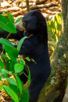 保護動物、マレーグマ、サンダカン、サバ、ボルネオ、マレーシア