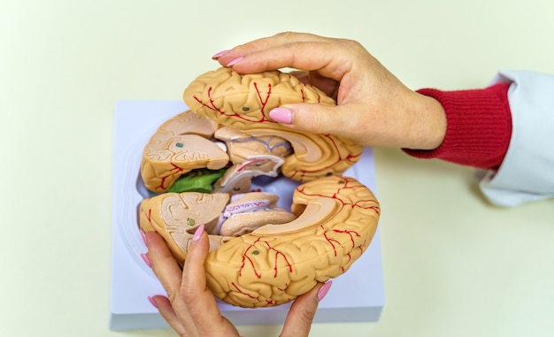 Construction of the brain. a neurologist holds in his hands a model of the human brain.
