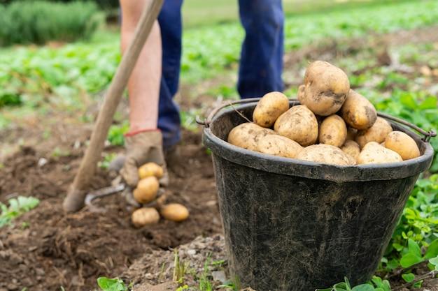 Емкость со свежесобранным картофелем. сельскохозяйственная концепция.