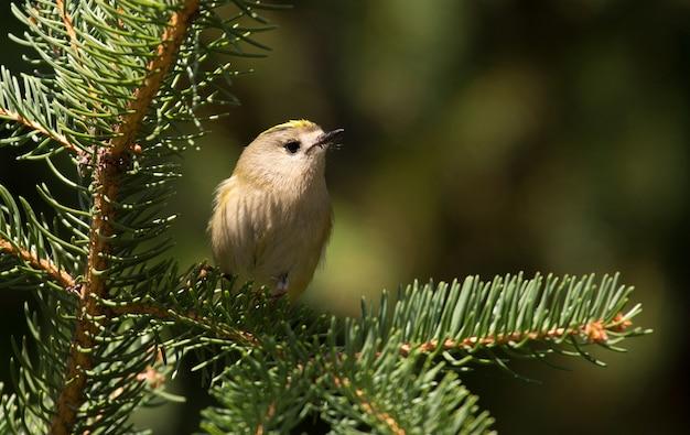 Continental goldcrest sits on a fir branch