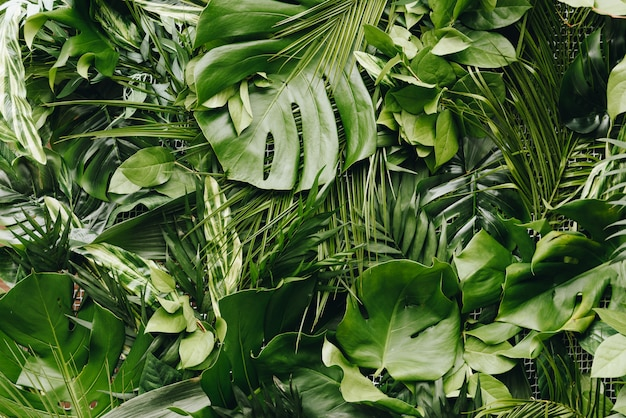 Continuous seamless background of lush, fresh big green tropical leaves