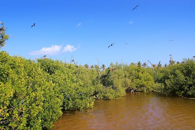 フリゲート鳥の繁殖contoy島マングローブ