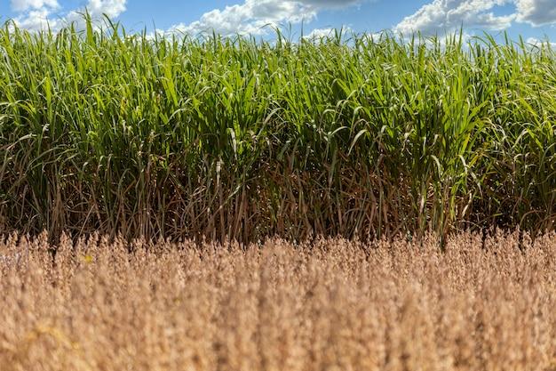 Контраст сухой плантации сои с полем сахарного тростника