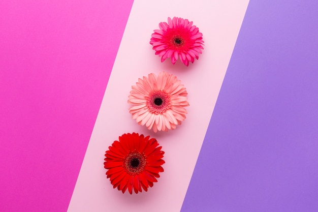 Contrasted background with line of gerbera daisies
