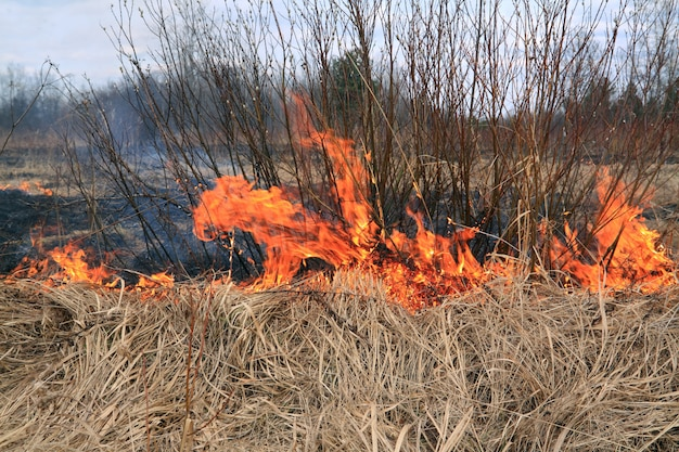 Контролируемый огонь для удаления сухих кустов. сжигание с уменьшением опасности, обратный удар, сваливание или сгорание