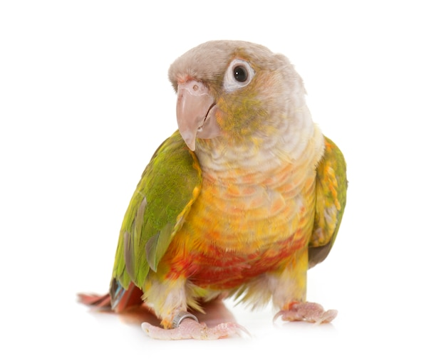 Conure isolated