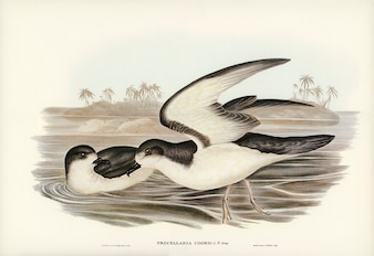 Cook's Petrel (Procellaria Cookii) illustrated by Elizabeth Gould
