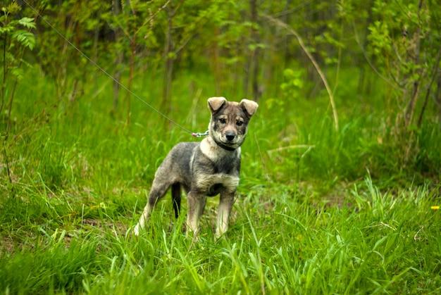 Крутой серый щенок дворняжки с висячими ушками с интересными взглядами на натуральном зеленом фоне