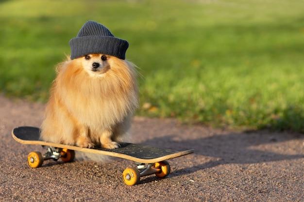 道路上のスケートボードに乗って帽子をかぶったクールなポメラニアン