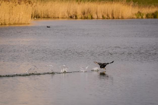 물을 가로질러 달리는 coot(풀시아 아트라)