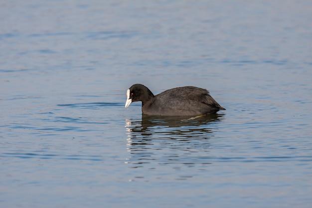 Warnham 자연 보호 구역의 호수에서 수영하는 coot(fulcia atra)