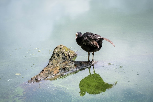 엘즈미어의 부분적으로 물에 잠긴 나무 줄기에 서 있는 물꼬리