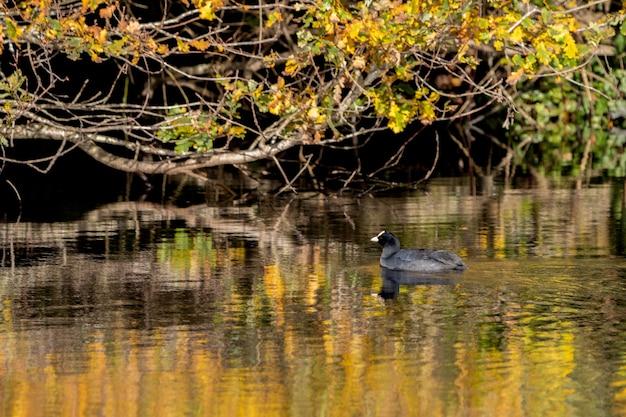 Cripplegate lake의 황금빛 반사 속에서 헤엄치는 물닭