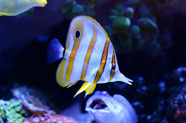 Copperband butterflyfish, chelmon rostratus, coral reef fish in a dark blue water.