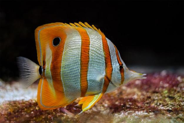 Медная рыба-бабочка chelmon rostratus
