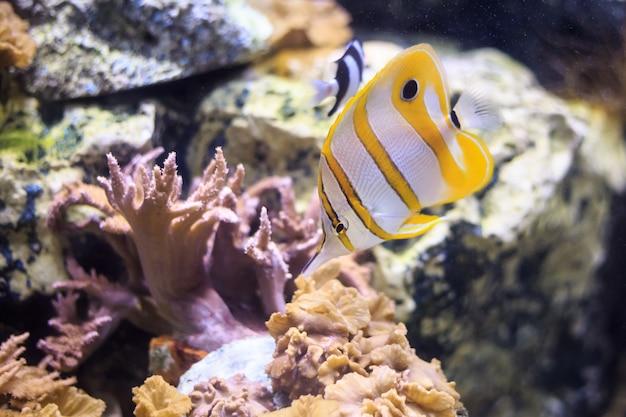 Copperband butterflyfish thailand underwater