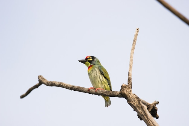 Coppersmith barbet on the tree branch sitting  and looking downwards