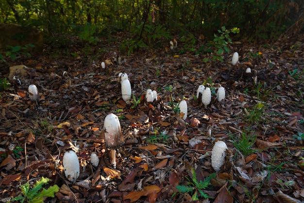 Гриб coprinus comatus в осеннем лесу