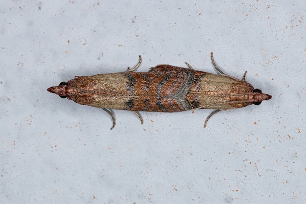 在物种Plodia interpclyla的印度膳食飞蛾两人之间的交配