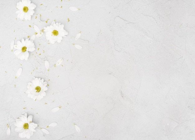 Copy space spring daisy flowers and petals