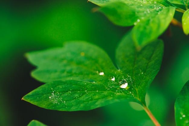Красивые яркие зеленые листья дицентры с росой капли крупным планом с copyspace. чистая, приятная, приятная зелень с каплями дождя на солнце. фон из зеленых текстурированных растений в дождливую погоду. grass.