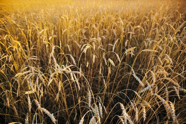 Copyspaceと日光のクローズアップでフィールド金小麦。太陽の下で鮮やかな黄金のライ麦が光ります。晴れた日の美しい明るいフィールド。風光明媚なカラフルな農業テクスチャ。マクロで小麦。