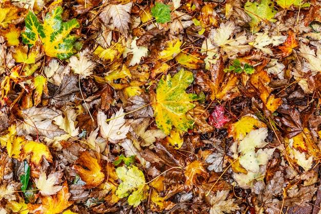 地面に濡れた色鮮やかな紅葉。 。閉じる。 copyspace。