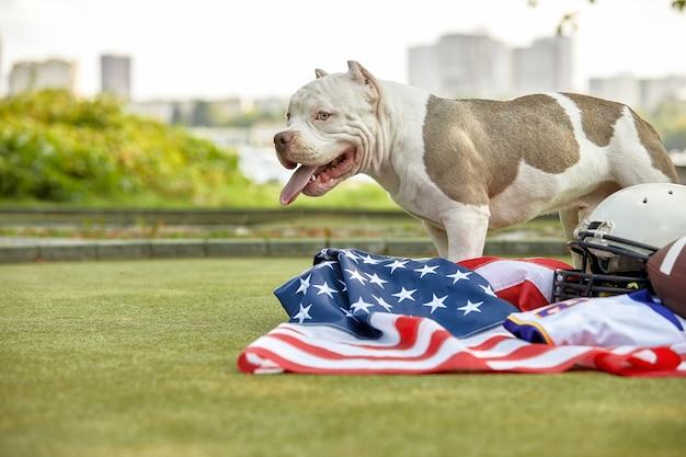 アメリカンフットボール 。公園でカメラにポーズをとるアメリカンフットボール選手のユニムを持つ犬。ナショナルゲームの愛国心、copyspace、広告バナー。
