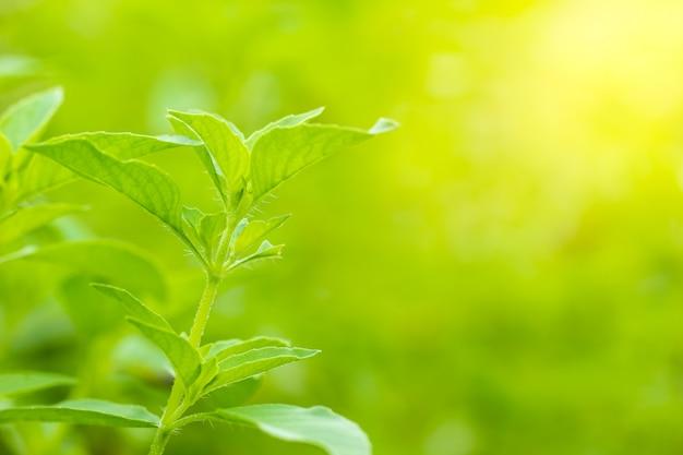 朝の日差しに毛むくじゃらのバジルまたはバジルの木。タイ料理で料理するためのハーブと食材です。滑らかな緑の自然。 copyspace。