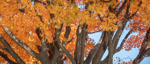 Copyspaceの背景を持つ秋の赤いカエデの葉。