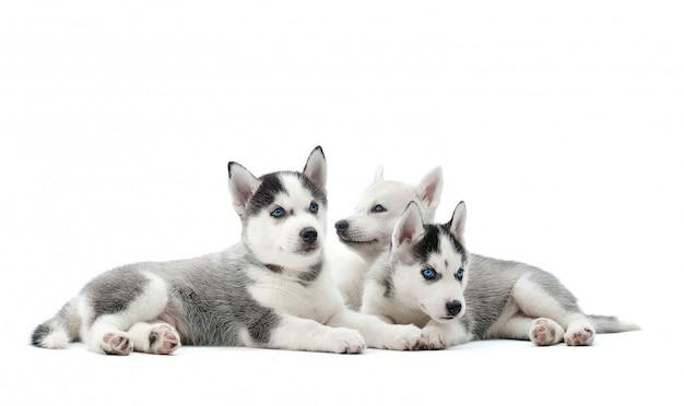 白いcopyspaceに分離されて横になっている愛らしいハスキーの子犬のグループ。