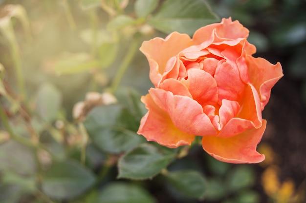 Один кораллово-розовый. один романтический цветок розы на день святого валентина. copyspace
