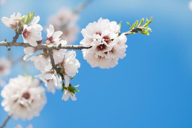 開花アーモンドの枝、ボケ、ぼやけたとcopyspaceを持つテクスチャーと美しい春の花