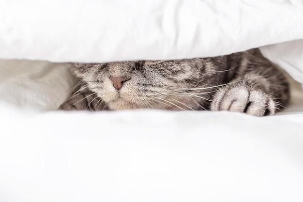 Серый шотландский вислоухий кот сидит на кровати в простыне. виден только нос. понятие о домашних животных, комфорт, уход за животными, содержание кошек в доме. светлый образ, минимализм, copyspace.