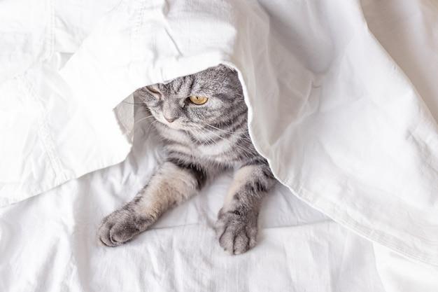 Серый шотландский вислоухий кот сидит на кровати в простыне. вид сверху. понятие о домашних животных, комфорт, уход за животными, содержание кошек в доме. светлый образ, минимализм, copyspace.